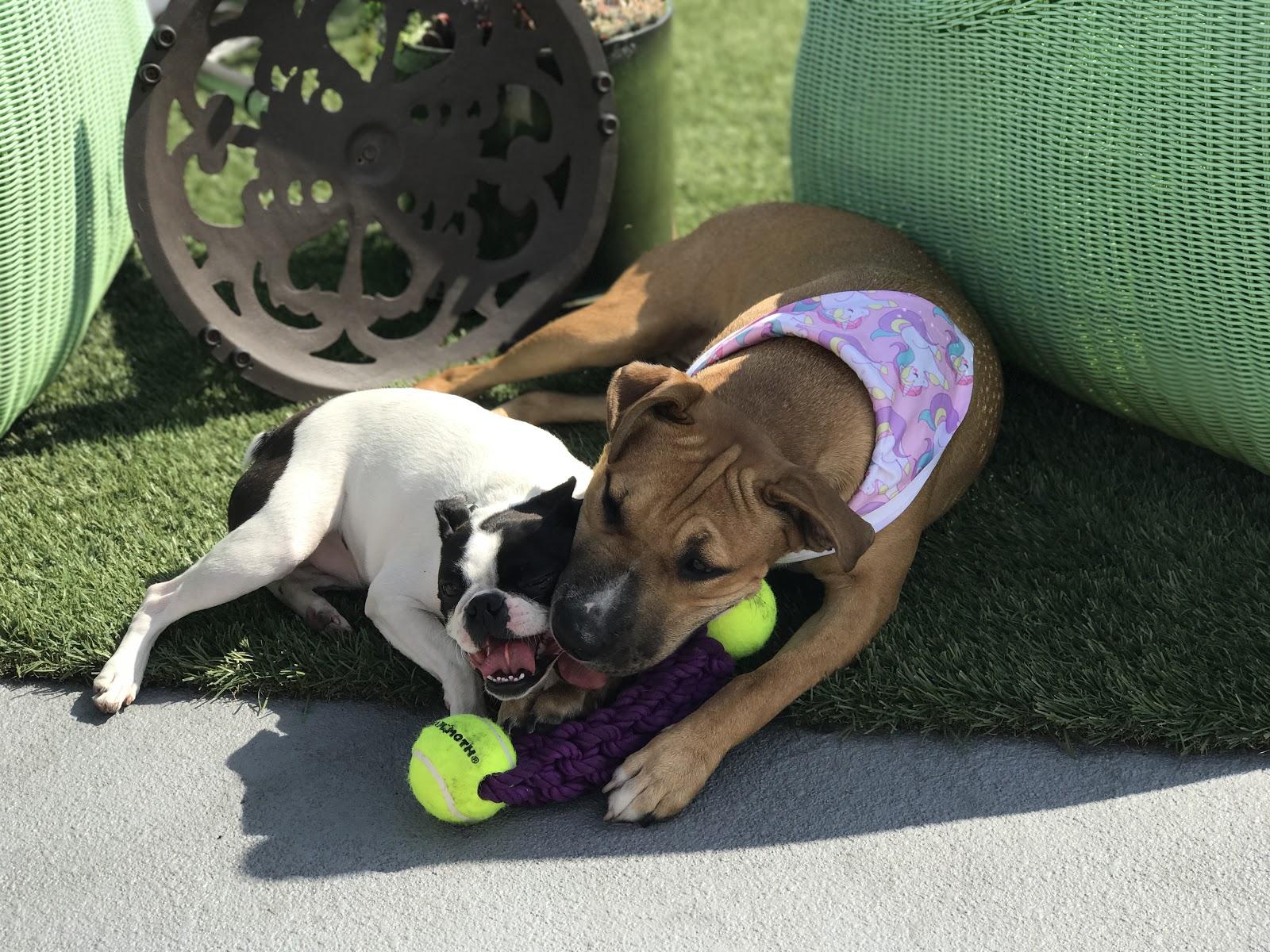PetDesk Pups Play - Kube and Luna
