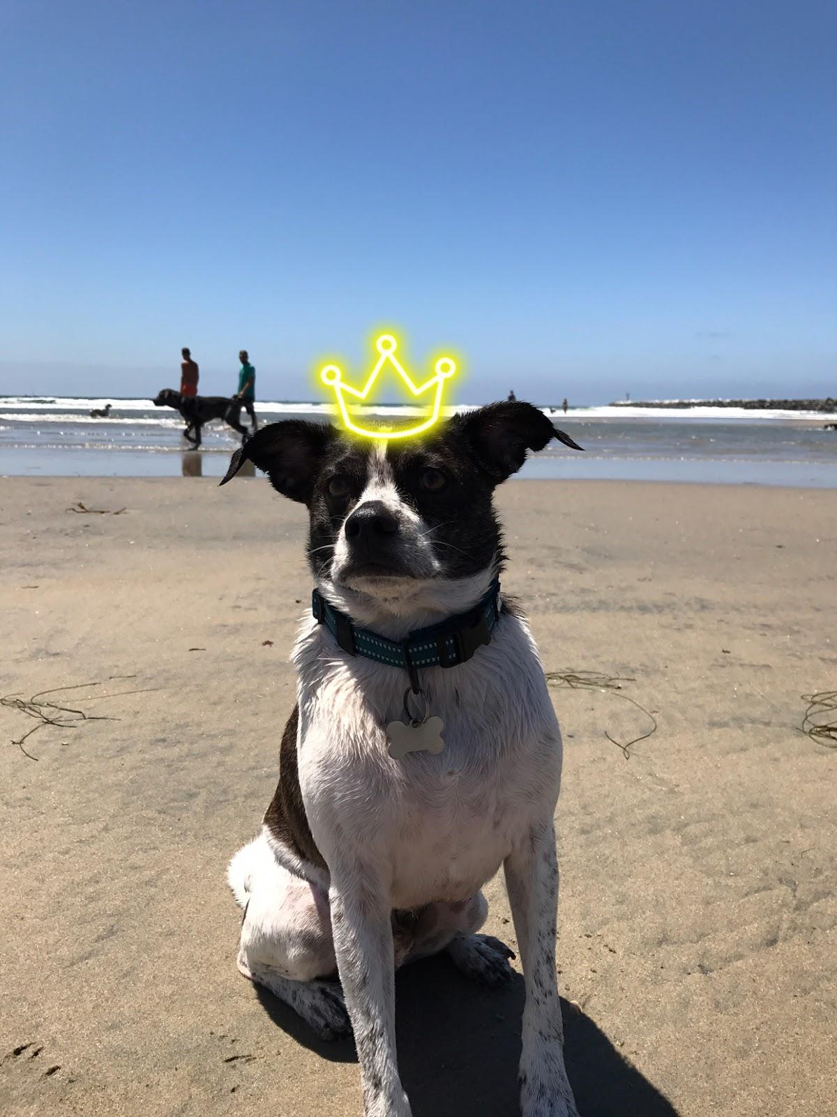 dog-pierre-beach-crown