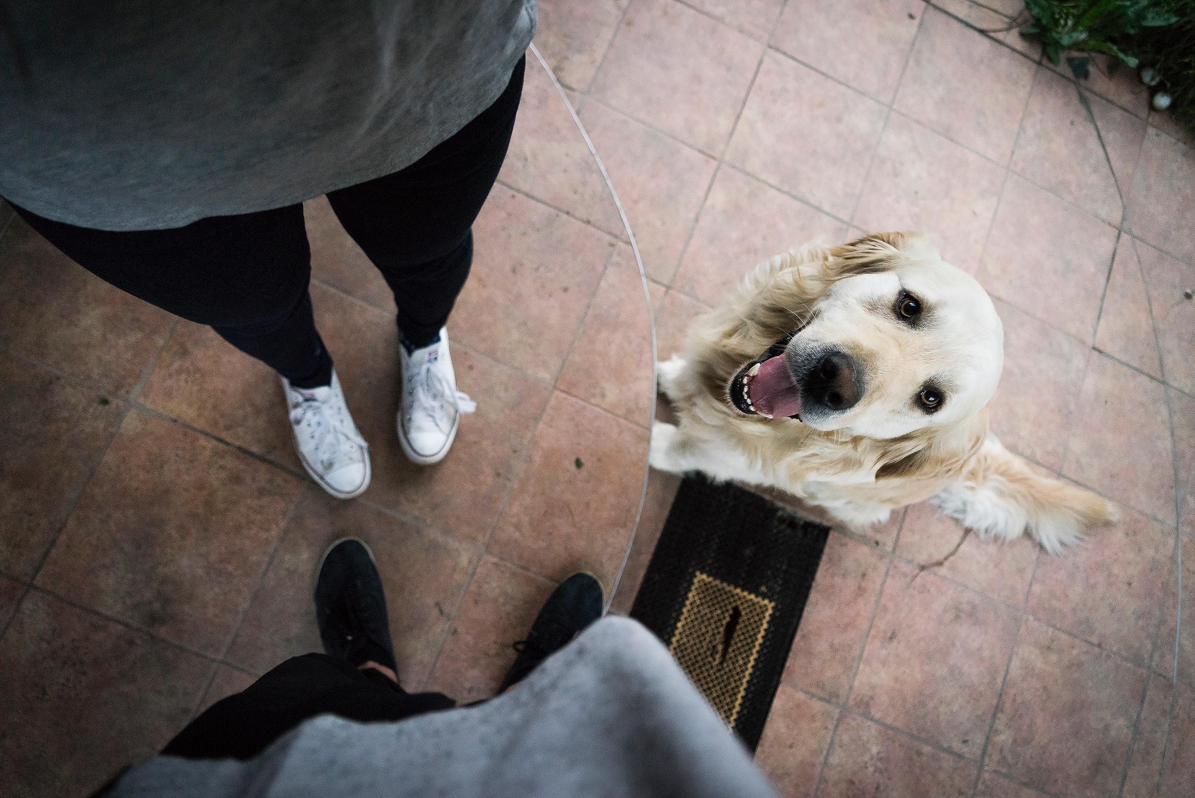 dog-standing-waiting-retriever-happy
