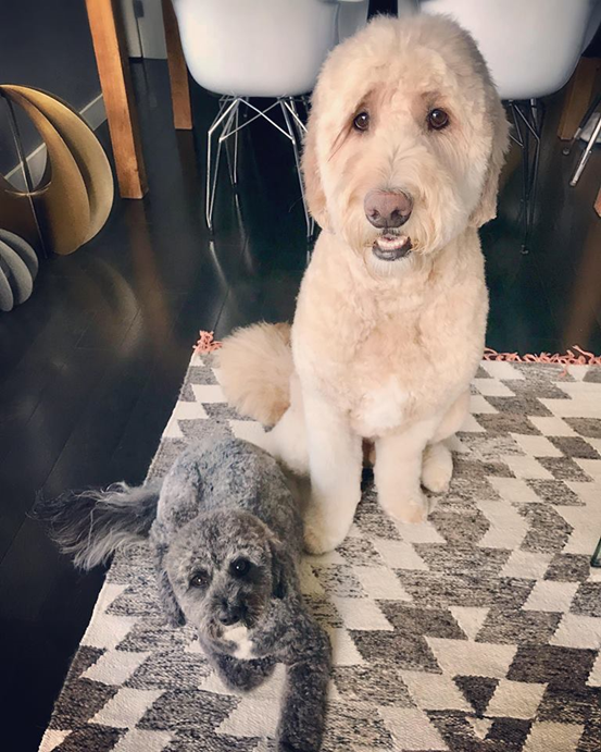 Teddy-and-Bo-goldendoodle-dog-sitting-