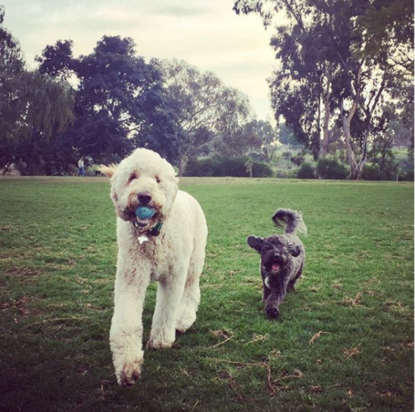 Teddy-and-Bo-goldendoodle-dog-park