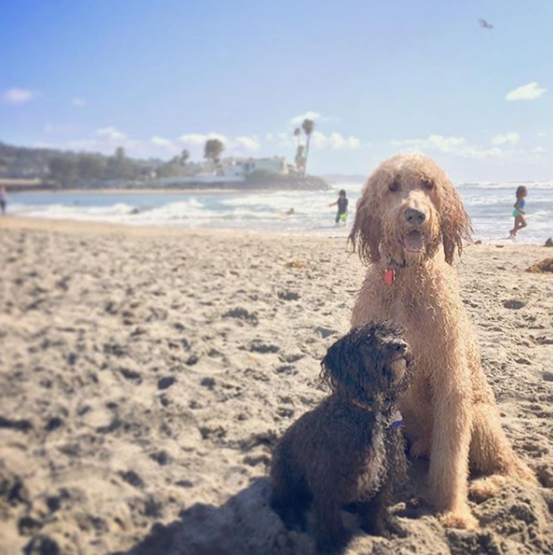 Teddy-and-Bo-goldendoodle-dog-beach