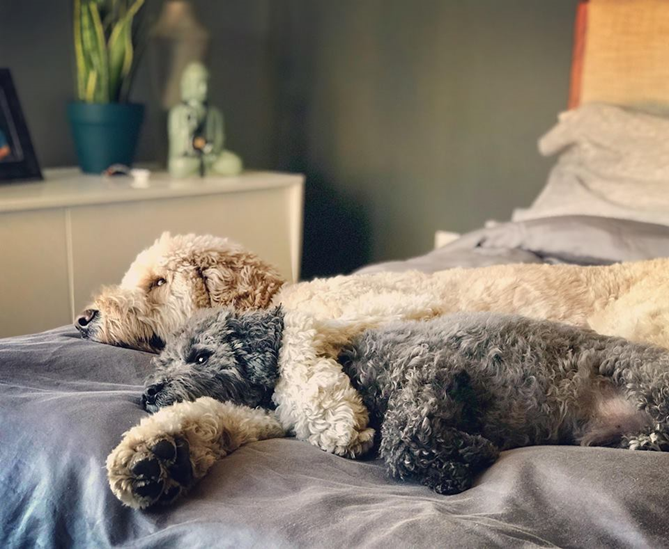 Teddy-and-Bo-goldendoodle-dog-nap