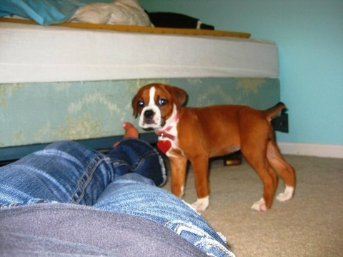 Baby Betsy the boxer